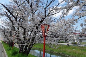 鹿島川の桜
